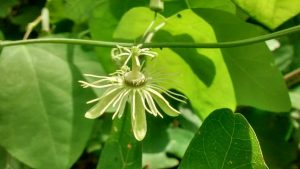 passiflora-lutea